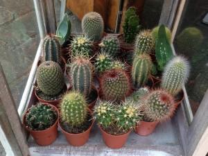 Kleine_cactussen